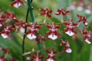 A_and_B_Larsen_orchids_-_Oncidium_Sharry_Baby_1063-21