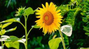 sunflower-290496_1920