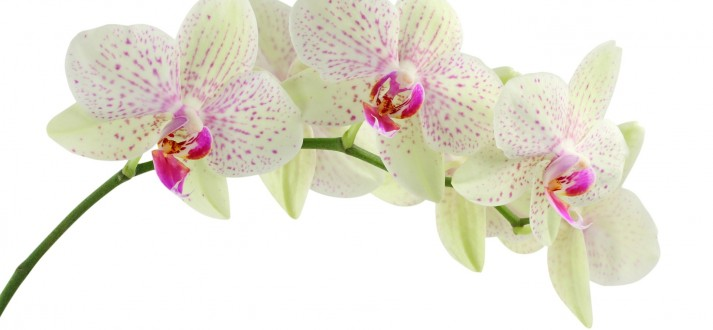 orchid-622485_1920